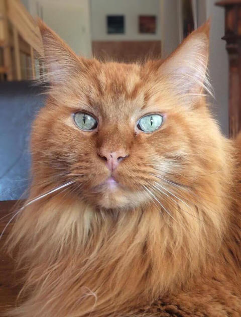 Red Samson the Fabulous, Maine Coon