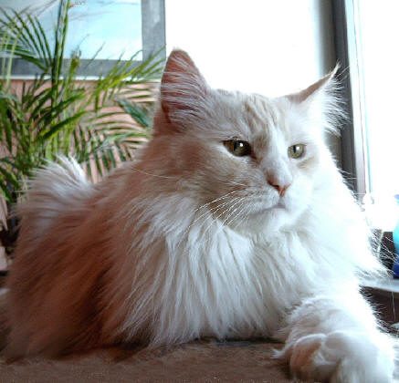 Henny Penny Maine Coon